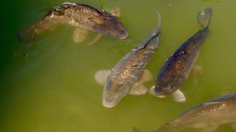 kapr rybnik kvalita vody