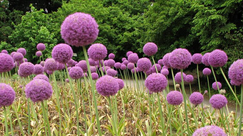 1280px-Allium_Giganteum