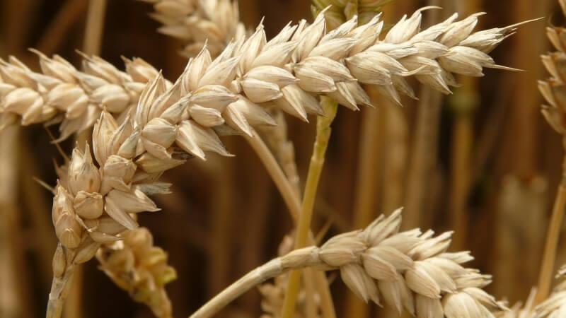 wheat psenice obili