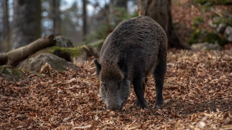 wild-boar-kanec-divoke-prase