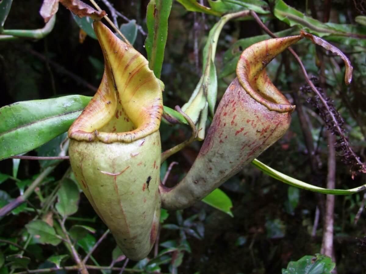 Nepenthes_fractiflexa_1