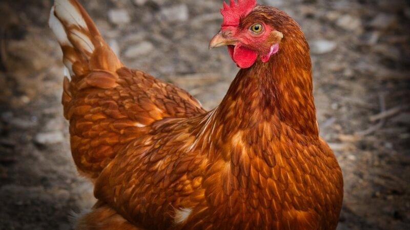 chicken-slepice