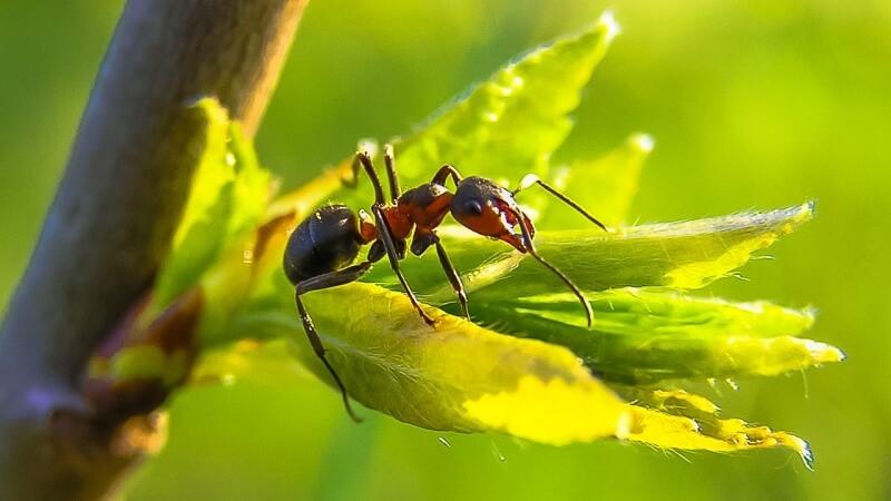ant-mravenec-evoluce
