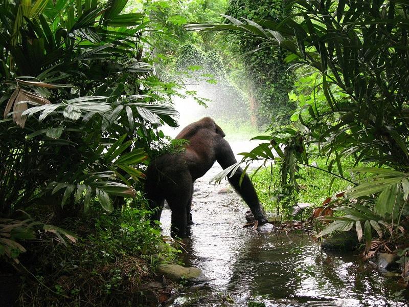 gorilla-61136_1280
