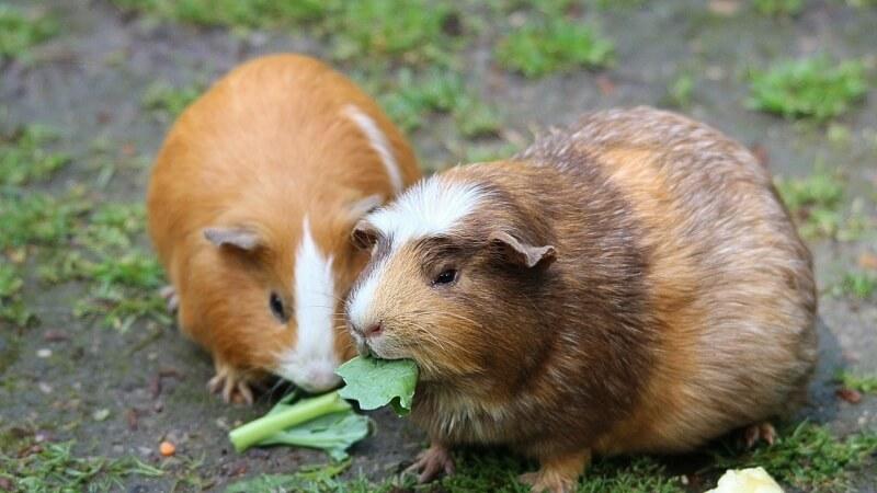 guinea-pig-morce