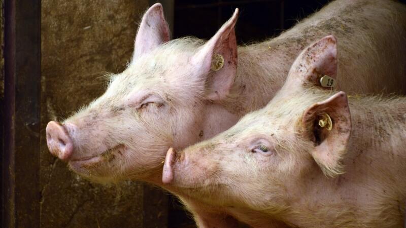 pigs-prasata